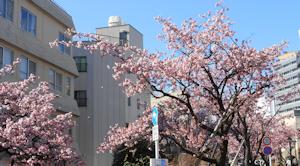糸川桜まつり01
