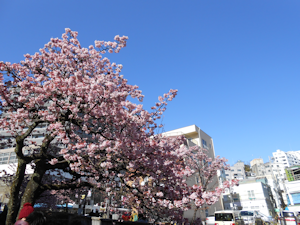 糸川桜まつり04