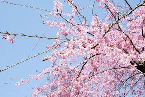 桜まつり02
