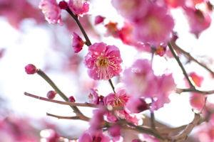 神代植物公園梅まつり05 - コピー