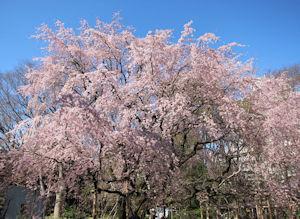 六義園しだれ桜ライトアップ02 - コピー