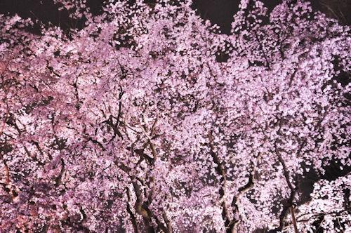 六義園しだれ桜ライトアップ002 - コピー