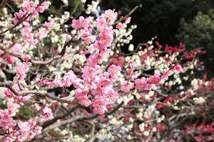 向島百花園梅まつり05 - コピー