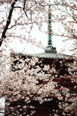 池上本門寺桜まつり03 - コピー