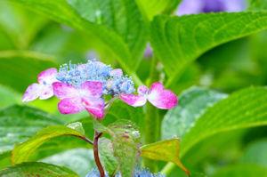 池上本門寺桜まつり05 - コピー