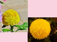 神代植物公園菊花大会05 - コピー