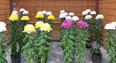 神代植物公園菊花大会02 - コピー