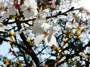 桜山公園冬桜02 - コピー