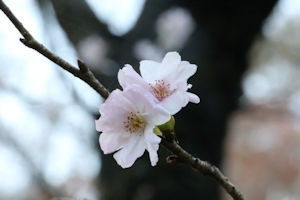桜山公園冬桜04 - コピー