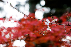 桜山公園冬桜03 - コピー