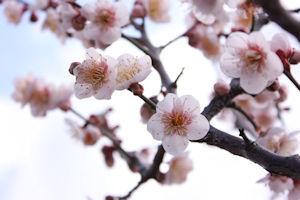 いなざわ梅まつり04 - コピー