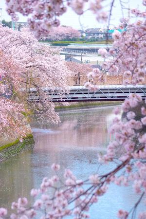 大岡川お花見クルーズ03 - コピー